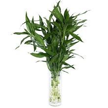 花七休 富贵竹花卉绿植盆栽 办公居家室内绿植 鲜花绿植