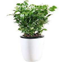 花七休 幸福树 花卉绿植盆栽 办公居家室内绿植 鲜花绿植
