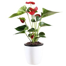 花七休 红掌 花卉绿植盆栽 办公居家室内绿植 鲜花绿植
