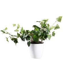 花七休 常青藤 花卉绿植盆栽 办公居家室内绿植 鲜花绿植