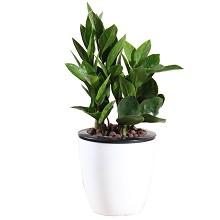 花七休 金钱树 花卉绿植盆栽 办公居家室内绿植 鲜花绿植