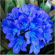 御春阁 兰花君子兰 绿植盆栽室内精品花卉 鲜花绿植