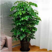 绿韵花田 幸福树 室内大型绿植盆栽 鲜花绿植
