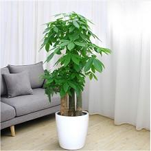 绿韵花田 单杠发财树 室内大型绿植盆栽 鲜花绿植